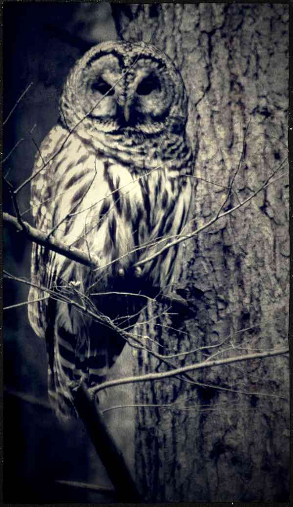 An Owl in Black and White